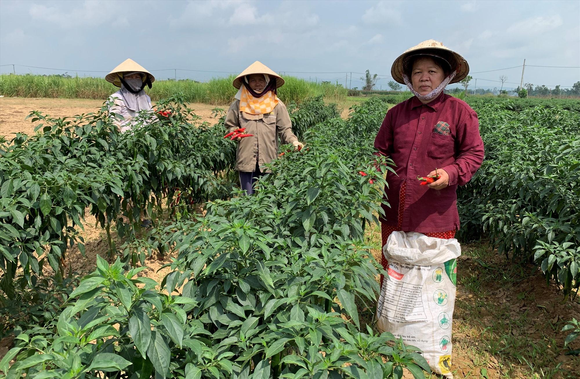 Nhiều vùng chuyên canh cây trồng cạn ở xã Duy Châu (Duy Xuyên) cho giá trị từ 90 - 150 triệu đồng/ha/năm. Ảnh: T.L
