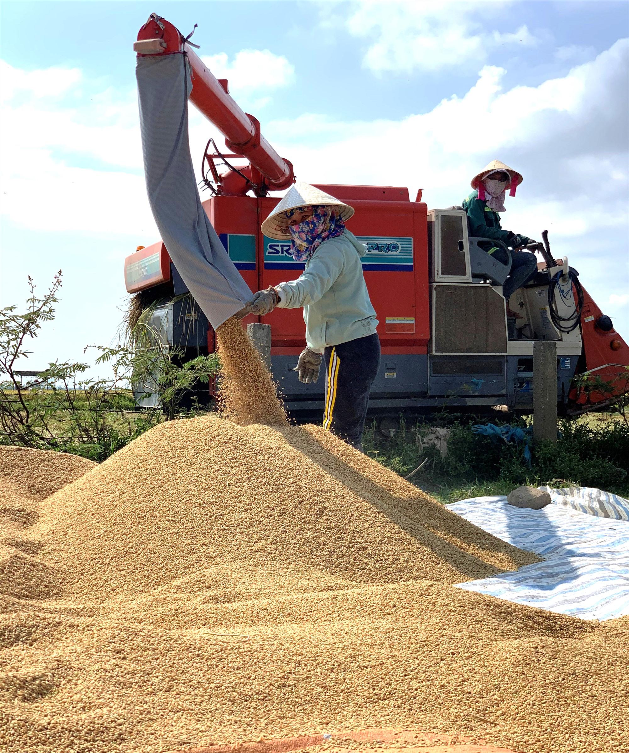 Nông dân Duy Thành huy động tối đa phương tiện cơ giới thu hoạch nếp.   Ảnh: T.S