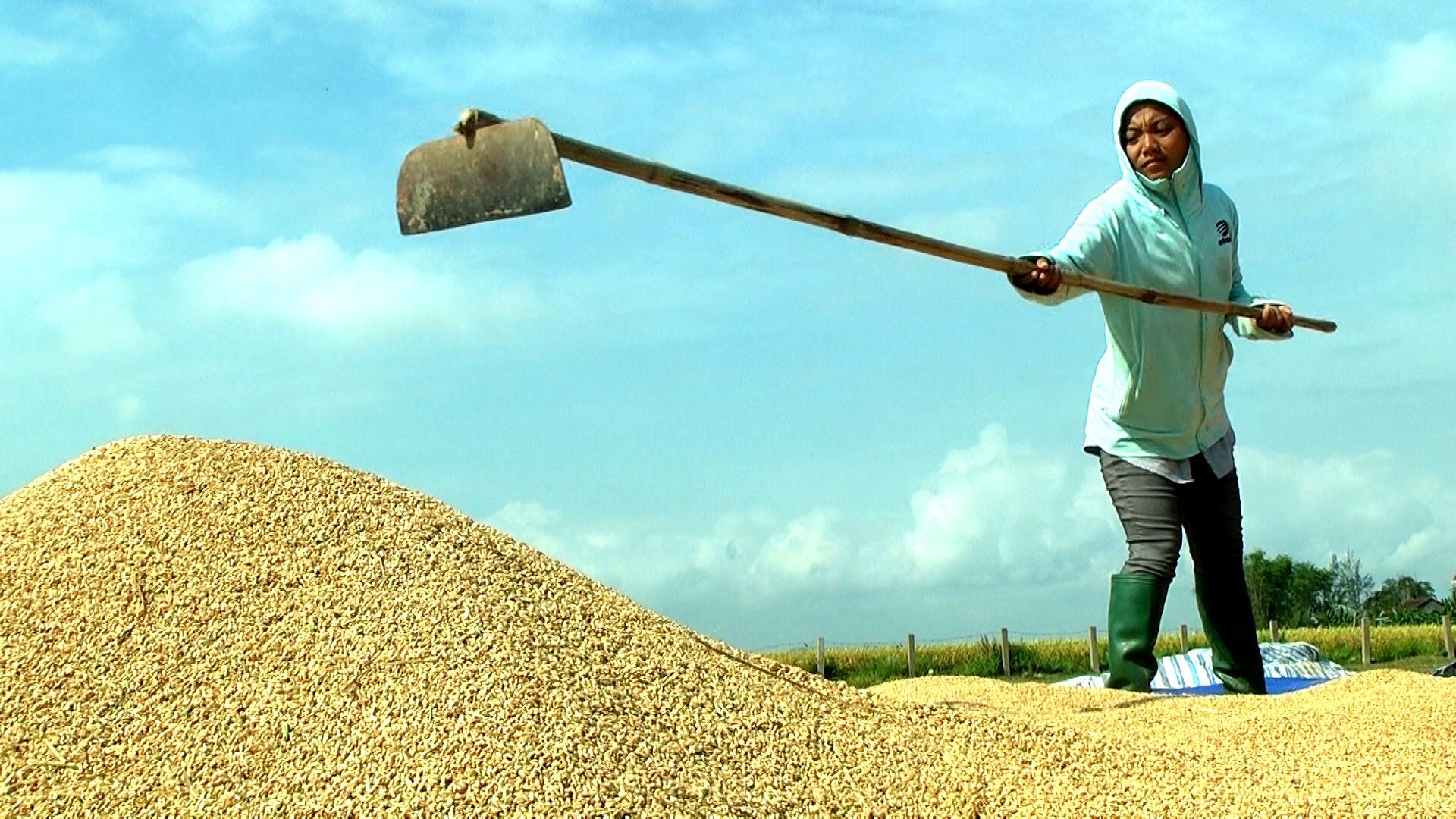Thời tiết thuận lợi, thu hoạch đến đâu, người dân Duy Thành khẩn trương phơi khô hạt nếp.  Ảnh: T.S
