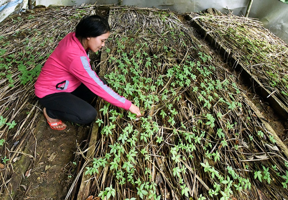Công nhân chăm sóc cây sâm con tại vườn sâm Tăk Ngo, xã Trà Linh, thuộc quản lý của UBND huyện Nam Trà My. Khi cây sâm cứng cáp - khoảng một năm tuổi, sẽ mang ra trồng tại vườn sâm. Từ vườm ươm này, nhiều hộ nông dân ở xã Trà Linh cung cấp sâm giống trồng tại vườn riêng của mình, nhờ đó, người nông dân duy trì được vườn sâm, góp phần xóa đói giảm nghèo, vươn lên làm giàu.