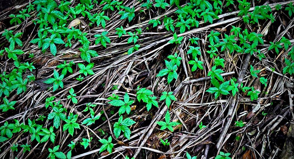 Những cây sâm con nảy mầm từ hạt giống để chuẩn bị trồng ra vườn rừng.