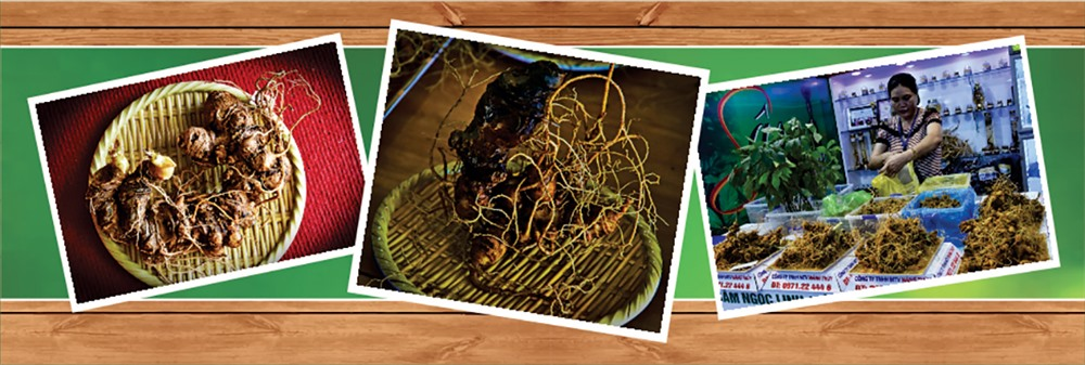 Những củ sâm Ngọc Linh đủ tuổi để bán ra thị trường, đạt tiêu chuẩn về khối lượng, chất lượng, tạo hình, màu sắc…