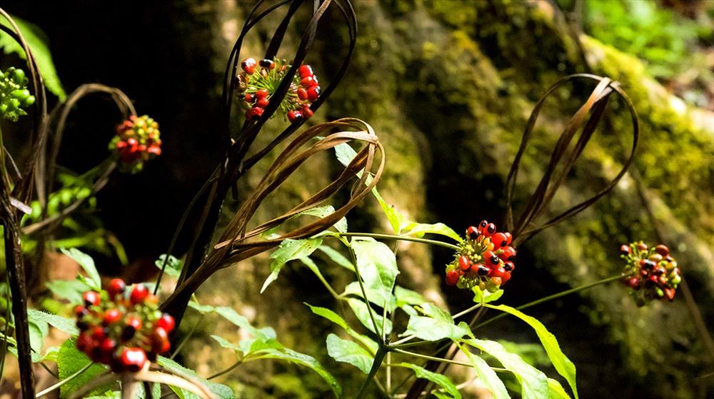 Sâm chín rộ ở một góc vườn trồng sâm trên núi Ngọc Linh.