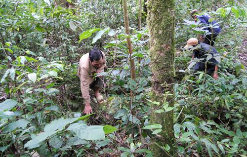 Nhờ khí hậu, thổ nhưỡng phù hợp nên sâm nhung mọc rất nhiều trên núi Ngọc Linh.