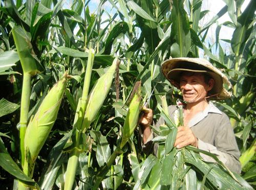 Nhiều vùng chuyên canh bắp lai ở xã Tam Xuân 1 cho hiệu quả kinh tế cao. Ảnh: VĂN SỰ