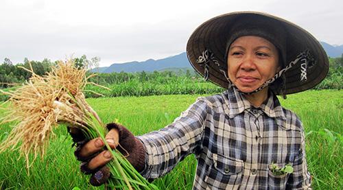 Trên cánh đồng Dãi, một số gia đình thu hoạch lứa kiệu tết đầu tiên. Ảnh: M.N