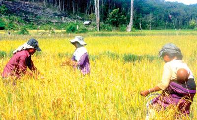 Nhờ canh tác theo kỹ thuật trồng lúa nước bên Việt Nam, người dân Tăng Noong không còn đói ăn mùa giáp hạt.Ảnh: MINH HẢI