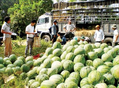 Thu mua dưa để xuất khẩu.