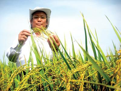 Giống lúa mới do nông dân đất Quảng lai tạo. Ảnh: VĂN SỰ