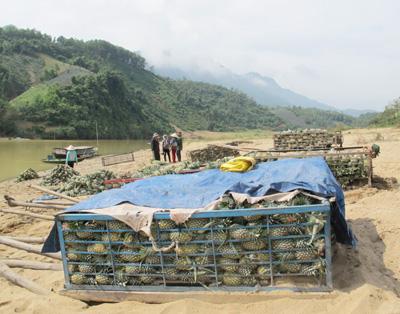 Những xe đẩy chất đầy thơm đã nằm ngoài bãi Thơm 2 ngày chờ nước lớn.