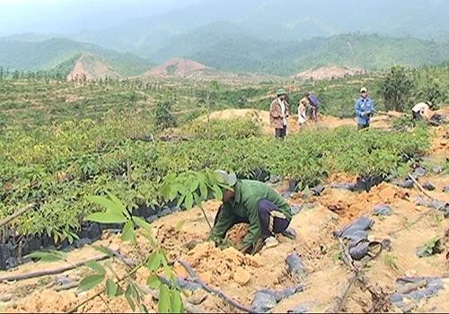 Trồng cây cao su tại huyện Nông Sơn. Ảnh: H.S
