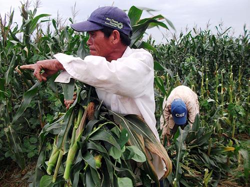 Nông dân Huỳnh Viết Tám có 4ha bắp còn đang ứ đọng, chưa thể bán được.