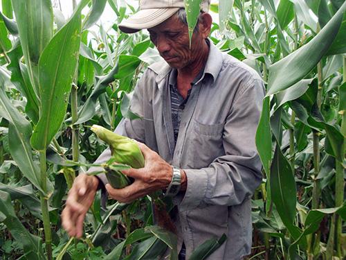 Người trồng bắp Hội An bị thiệt hại nặng nề vì tin đồn thất thiệt.  Ảnh: VĂN HÀO