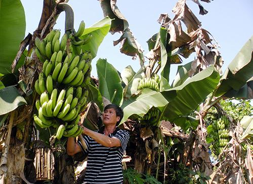 Mô hình trồng chuối mốc ở Đông Giang là một trong những mô hình mang lại hiệu quả kinh tế cao, giúp dân thoát nghèo.
