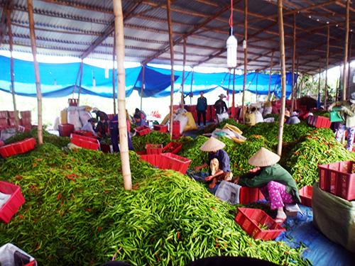 Điểm thu mua ớt tại xã Điện Quang. Ảnh: H.Y