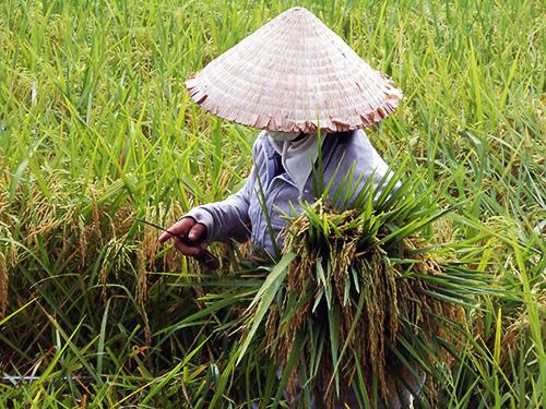 Gieo trồng giống lúa trung - ngắn ngày sẽ giúp tiết kiệm nước tưới. Ảnh: B.L