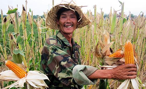 Nông dân rất phấn khởi vì bội thu mùa bắp.