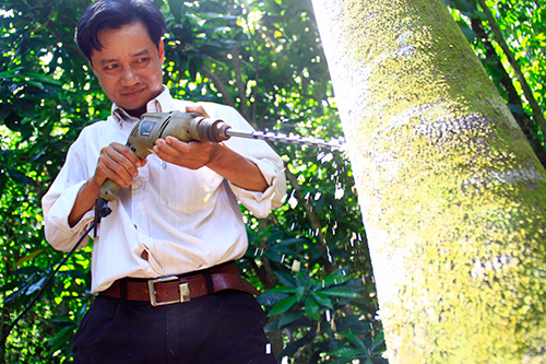 Mr Truong Cong Luong drilling the holes on the Aquilaria tree to create agarwood.