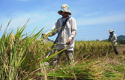 Nhờ được mùa nên vụ đông xuân này tổng sản lượng lúa của Phú Ninh tăng hơn 1 nghìn tấn.