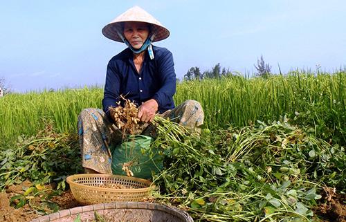 Hiện nay, trên thị trường giá 1kg đậu phụng khô chỉ 21 - 22 nghìn đồng, giảm 6 - 7 nghìn đồng so với thời điểm đầu tháng 4.