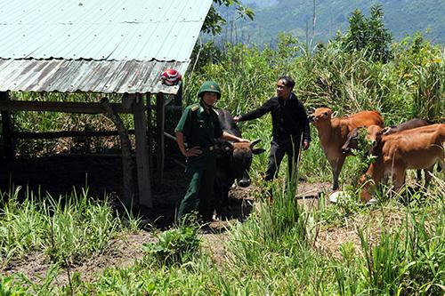 Chăn nuôi theo mô hình kinh tế gia trại, đàn bò của nhóm hộ anh Zơ Râm Nhâl phát triển nhanh hơn so với cách nuôi truyền thống. Ảnh: H.G