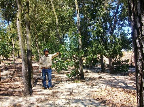 Ông Hoàng Ngọc Triển và diện tích rừng trồng không được xác nhận cho khai thác. Ảnh: H.G