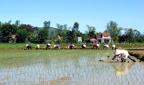 Mô hình trồng lúa chất lượng cao. Ảnh: PHƯƠNG THẢO