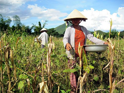 Dự án Khoa học công nghệ nông nghiệp đã mang lại hiệu quả kinh tế cao cho nông dân trong tỉnh. Ảnh: N.D
