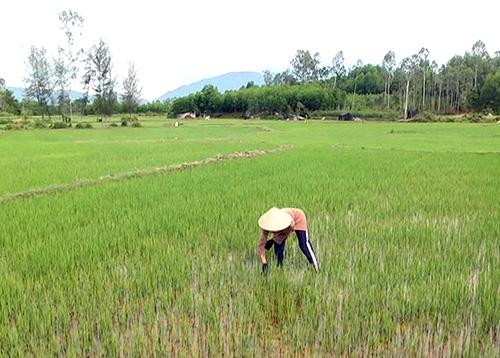 Cây lúa đang phát triển tốt ở thôn Châu Lâm, xã Bình Trị nhờ trạm bơm dã chiến.   Ảnh: T.BIÊN