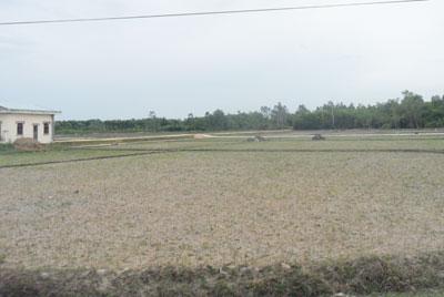 Hàng chục héc ta lúa ở Bình Định Bắc phải bỏ hoang vì thiếu nước.