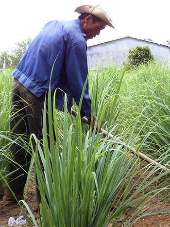 Cây sả tạo nguồn thu nhập đáng kể cho nhiều gia đình ở xã Đại Đồng. ẢNH: H.L