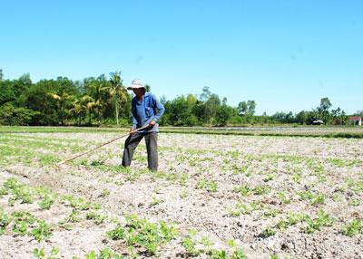 Nhiều ruộng lúa bấp bênh nước tưới đã chuyển sang canh tác các loại cây trồng cạn ngay từ đầu vụ.