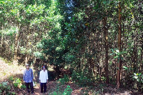 Rừng cây mà hộ ông Nguyễn Văn Tâm trồng trên diện tích đất đang tranh chấp với nhóm hộ ông Hiền. Ảnh: H.G
