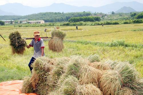 Nông dân huyện Núi Thành đang gấp rút hoàn tất thu hoạch vụ lúa hè thu 2013.                        Ảnh:C.T.A
