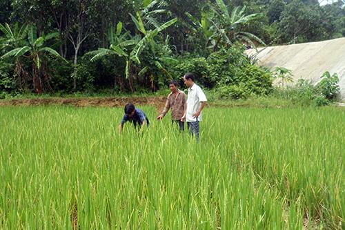Anh Lưu Huyền Thoại (áo màu sáng) đang cùng bà con đi thăm cánh đồng lúa nước.
