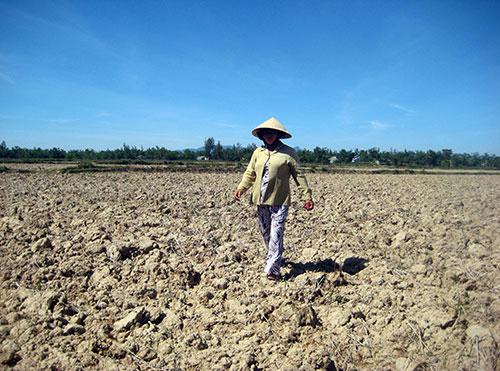 Do mặn liên tục xâm nhập nên lâu nay nhiều diện tích đất sản xuất lúa ở vùng đông huyện Điện Bàn phải bỏ hoang trong vụ hè thu.                                                                                   Ảnh: V.SỰ