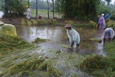 Nông dân xã Tam Phú khẩn trương thu hoạch lúa trước bão số 8. Ảnh: HỮU PHÚC