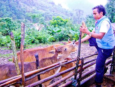 Người dân huyện Tây Giang tổ chức nuôi nhốt gia súc để thực hiện việc tiêm phòng vắc xin lở mồm long móng khẩn cấp. Ảnh: VĂN SỰ