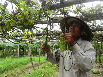 Ông Lê Quý Thu (xã Duy Phước, huyện Duy Xuyên) phá bỏ giàn mướp bị mưa lũ làm hư hại để cải tạo đất trồng lại.