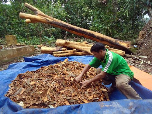Vườn quế hơn 30 năm tuổi của ông Nguyễn Viết bị ngã đổ chỏng chơ.Ảnh: VĂN TRƯỜNG