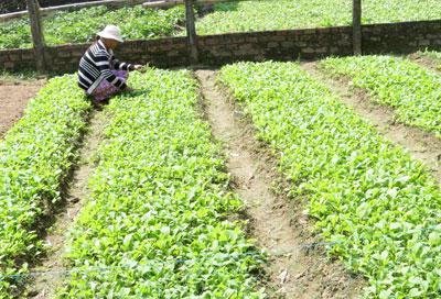 Nhiều nông dân không mặn mà với rau VietGap.                                                                                                                                                    Ảnh: B.LIÊN