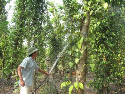 Một vườn tiêu ở Tiên Phước.
