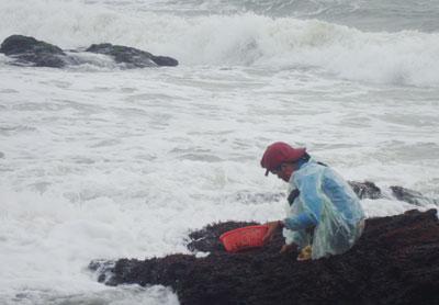 Hái mứt ở những mỏm đá rất nguy hiểm vì dễ bị sóng cuốn trôi.