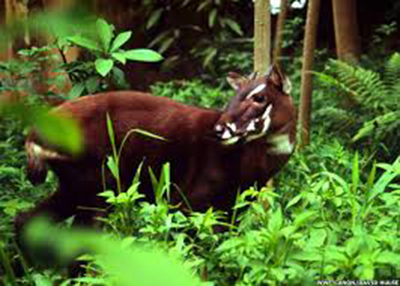 An image of a saola was taken on September 7 when it was moving along the stream in a remote valley of the Truong Son Range.