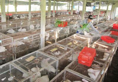 Mai Thị Lê chăm sóc chuồng trại và chăn nuôi thỏ đúng quy trình kỹ thuật đem lại hiệu quả kinh tế cao.                                           Ảnh: CHÂU NỮ