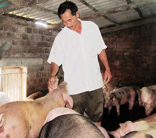 Đàn heo của ông Nguyễn Tấn Út đang phát triển rất tốt.