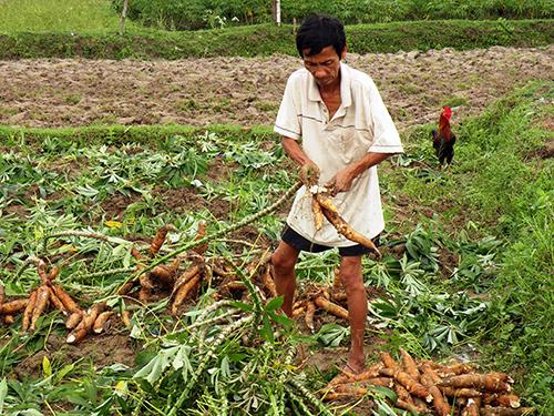 Với sự ra đời của Tổ hợp tác chế biến nông sản Ngọc Sơn, cây sắn của xã Bình Lâm và vùng lân cận sẽ có đầu ra ổn định.
