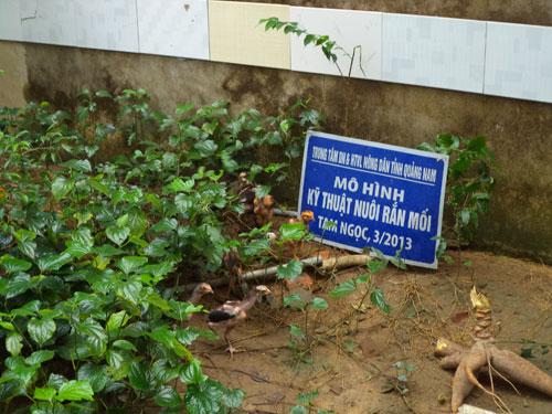 Mô hình nuôi rắn mối của ông Nguyễn Văn Lập kém hiệu quả nên ông phải chuyển sang nuôi gà từ vài tháng nay. Ảnh: N.T.Q