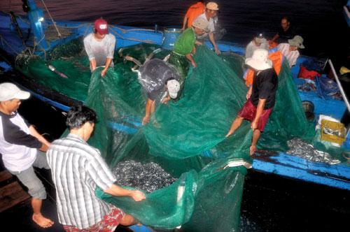 Sau mỗi mẻ lưới, cá được bán ngay cho tàu rổi.  Ảnh: MINH ĐỨC