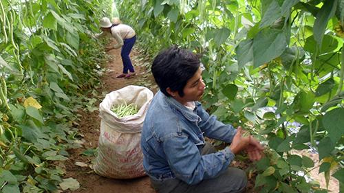 Anh Tấn Hà đang thu hoạch đậu tây để kịp bán cho thương lái. Ảnh: Bình Phương